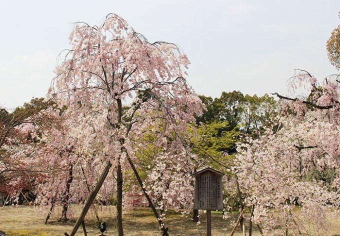 31.入ってすぐの枝垂桜2(開花時期)