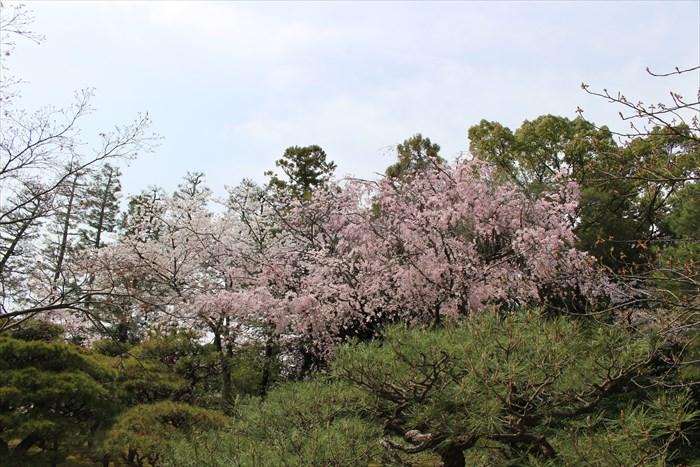 26.松と桜