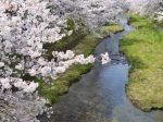 玉川の桜・玉川堤の桜