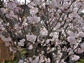 地主神社桜