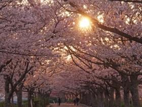 七谷川和らぎの道桜