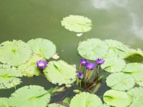 京都府立植物園睡蓮