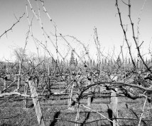 black and white vines