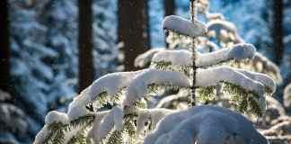 snowfall, fir, trees