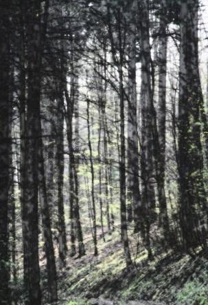 Wald_von_Ennor02