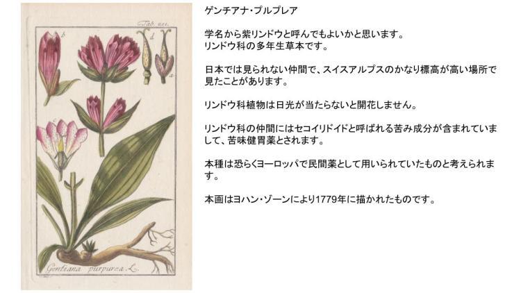 紫リンドウ