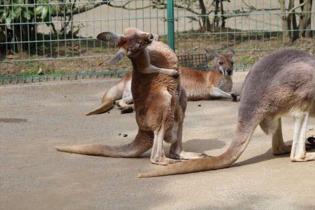 袋鼠的動作...有的攪笑。