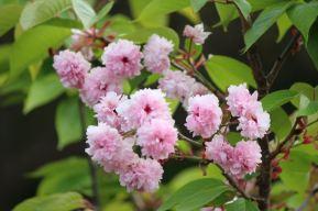 這是八重櫻。這種櫻花比較晚的開,還長一點時間可看。