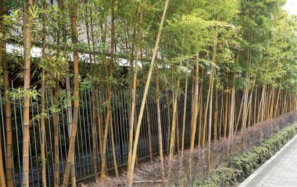 根津美術館脇の竹
