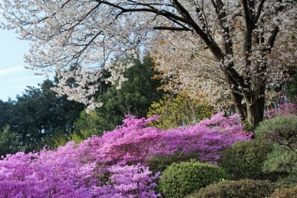 桜と紫ツツジ
