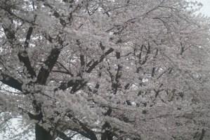 青梅市畜産試験場の桜