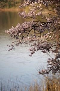 狭山湖の桜
