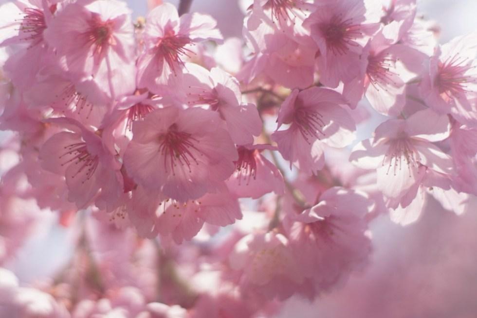 狭山丘陵 桜