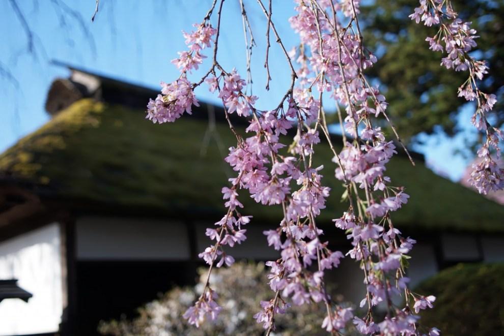 青梅 安楽寺 枝垂れ桜