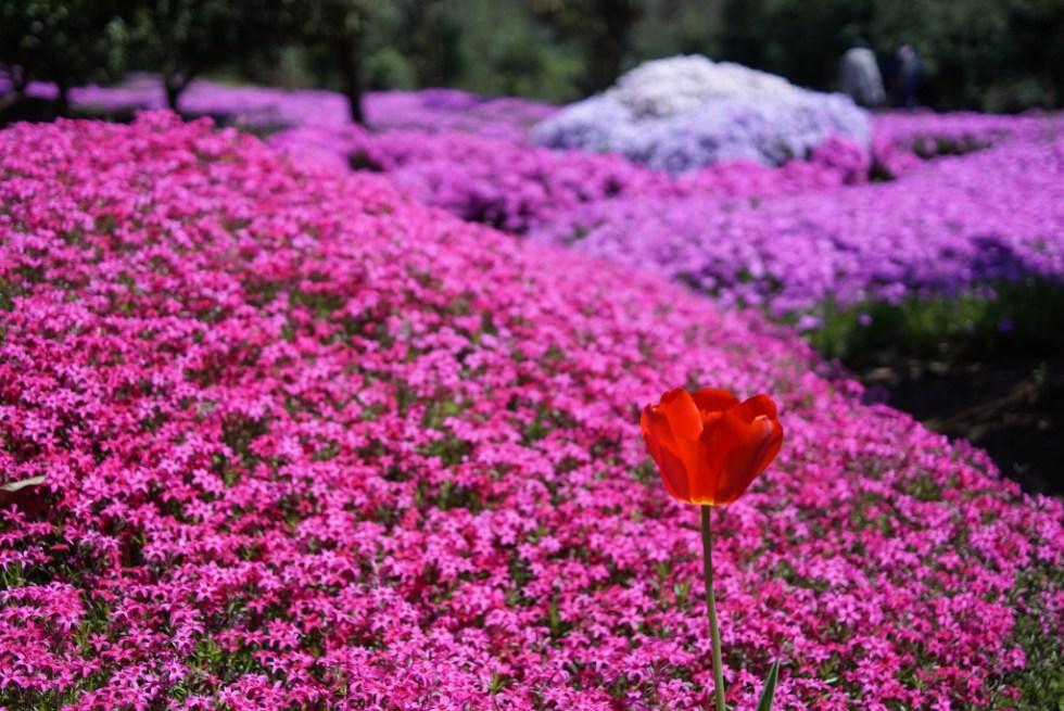 狭山丘陵 芝桜 チューリップ