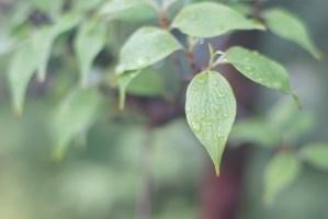 サンシュユの葉の雫