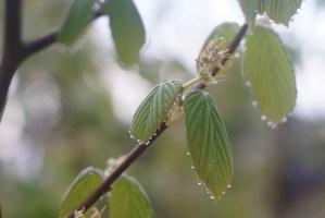 トサミズキの葉の雫