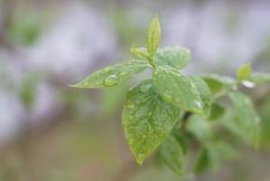 蝋梅の葉の雫