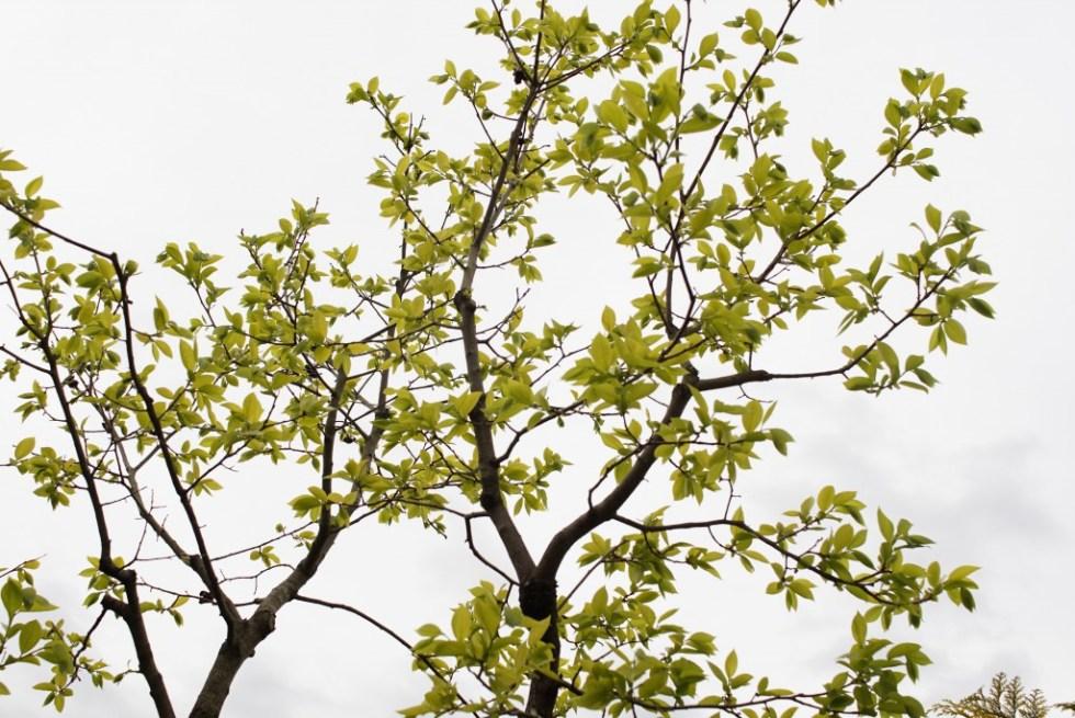 柿の木 若葉