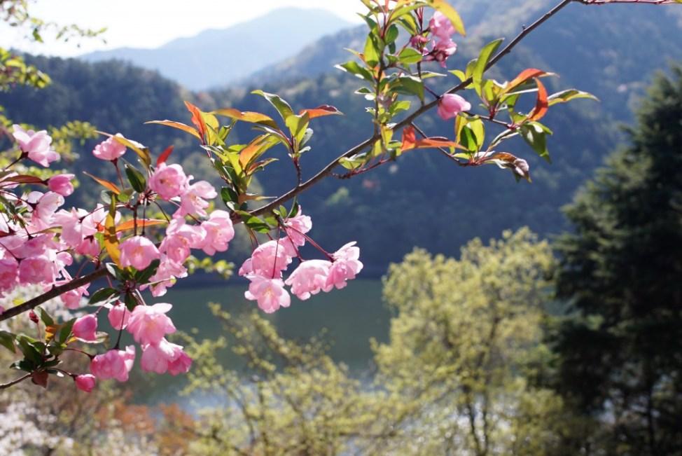小河内神社 桜