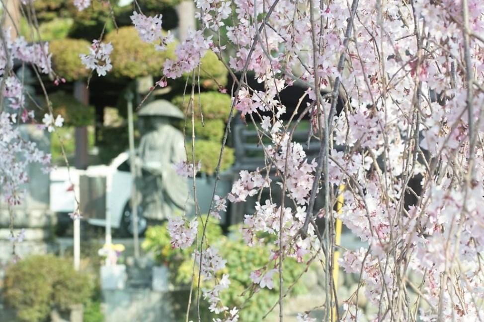 梅岩寺 枝垂れ桜