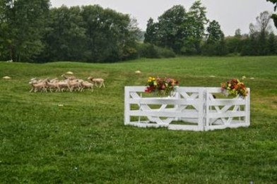 15 Sheep-Dog-Trials-in-Kingston-2-torontofunplaces.com.jpg