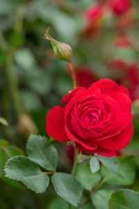 Canadian-Shield-Single-Rose-web-1bf0e0d096e180cfbedeff6dd92e1fa46c635674