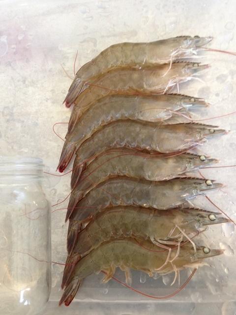 Crevettes de grande taille prêtes à être récoltées.