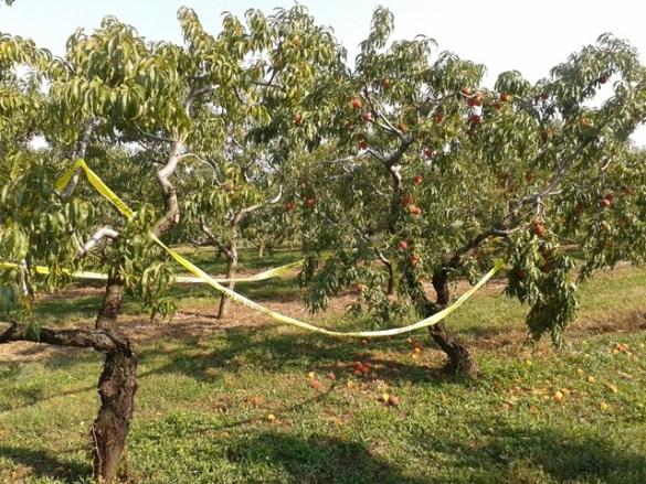 À l'avant plan: arbre fruitier non arrosé; à l'arrière plan: arrosé avec Hexanal.
