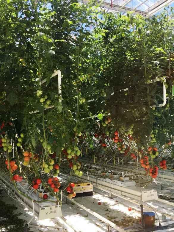 Des tomates dans la serre de Vineland.