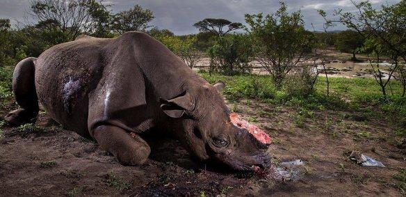 Un rhinocéros tué dans une réserve naturelle, où il était censé être protégé. (Photo: Brent Stirton_