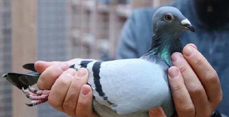 [Photos] Un pigeon vendu à plus d'1 milliard FCFA ; des internautes choqués