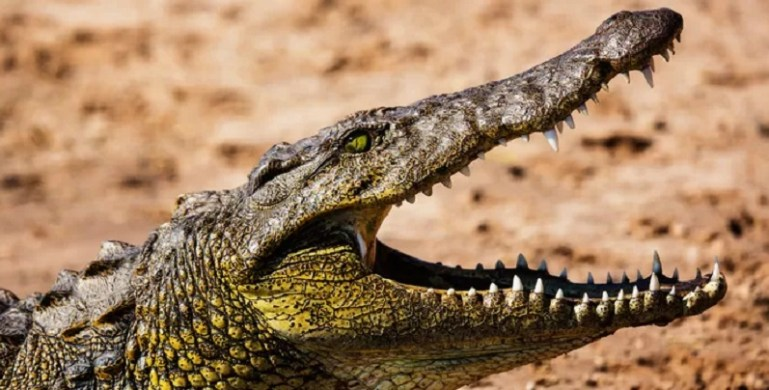 Un garçon de 8 ans avalé par un crocodile alors qu'il jouait