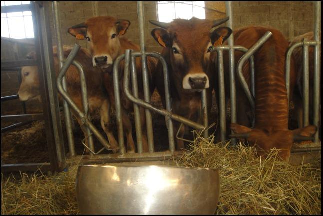 Read more about the article Bols Tibétains et Vaches, Apaisement général et communication animale.