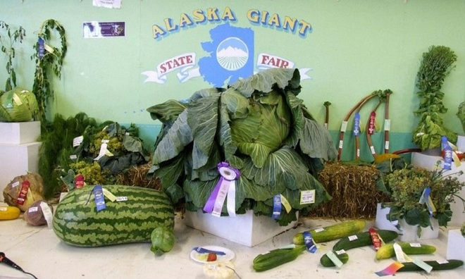 VNE-Alaska-s-Giant-Vegetables-8-1445501240_660x0.jpg