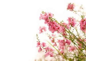 Blumen September Rosa