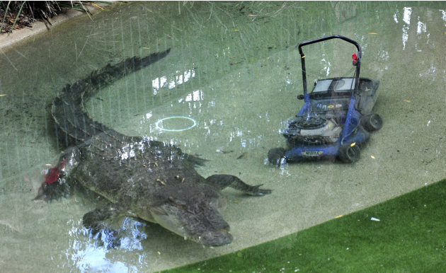 Elvis, a giant saltwater crocodile swims next to a lawnmower in his pool at the Australian Reptile Park at Gosford, Australia, Wednesday, Dec. 28, 2011. The 16-foot (5-meter), 1,100-pound (500-kilogra