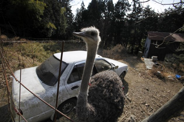 An ostrich which had escaped …