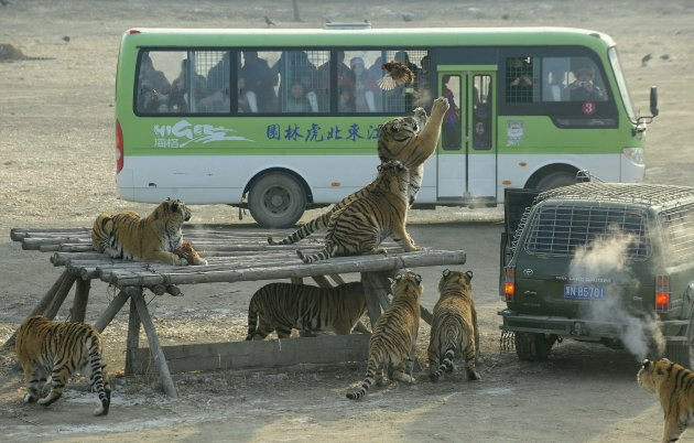 Visitors watch from a bus as Siberian tigers try to catch a chicken at the Siberian Tiger Forest Park in Harbin