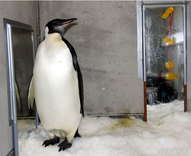"In this Aug. 28, 2011 photo released by China's Xinhua News Agency, emperor penguin ""Happy Feet"" is seen in his room at Wellington Zoo's hospital, New Zealand.  The emperor penguin has been booked ont"