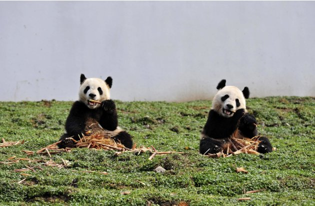 Giant pandas eat bamboo at the new base of the China Conservation and Research Center for the Giant Panda in Wolong
