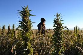 FILE - In this Oct. 5, 2013 file photo, a volunteer walks through a hemp field at a farm in Springfield, Colo.One of Oregon's first hemp farmers says ...