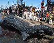 People look at a carcass of whale shark in Karachi, Pakistan on Tuesday, Feb 7, 2012. The 40-foot whale was found dead near Karachi in the Arabian Sea. (AP Photo)