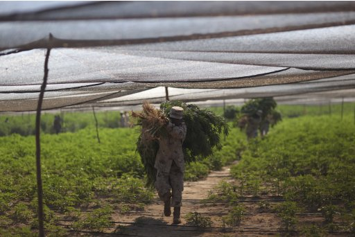 Army personnel carry bundles of marijuana at a plantation discovered near San Quintin, Baja California state, Mexico, Friday, July 15, 2011. Soldiers have found the largest marijuana plantation ever detected in Mexico, a huge field covering almost 300 acres (120 hectares), covered by shaded netting, the Defense Department said Thursday. The plantation is four times larger than the previous record discovery by authorities at a ranch in northern Chihuahua state in 1984.   (AP Photo/Alexandre Meneghini)