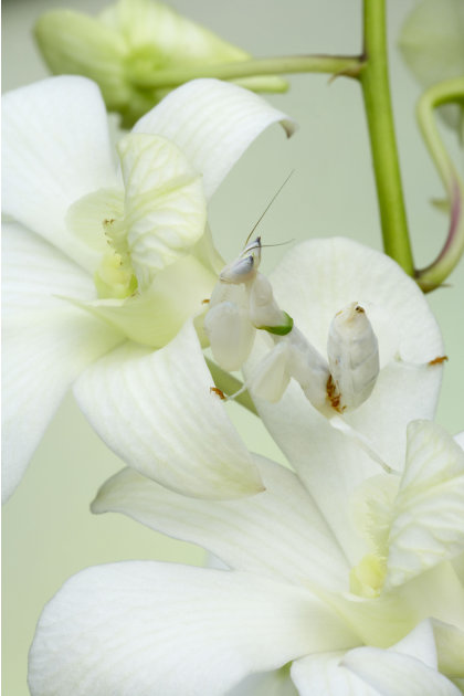 Una mantis orquídea en una flor. Foto: Bill Coster / ARDEA / CATERS NEWS