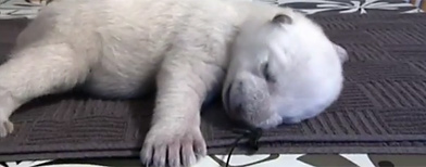 Siku, el oso polar que es furor en la web/ Captura Youtube
