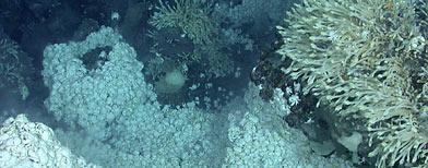Gigantesca colonia de cangrejos yeti. (Cortesía de la Universidad de Oxford)