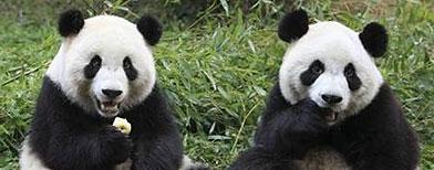 Imagen de archivo de los pandas gigantes Qiqi y Zhizhi en el centro de investigación base de reproducción de la especie de Chengdu, China, dic 21 2011. (Reuters)