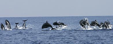 Dolphins are seen on Wakatobi waters, Southeast Sulawesi province, Indonesia. (Irwin Fedriansyah/AP Photo)