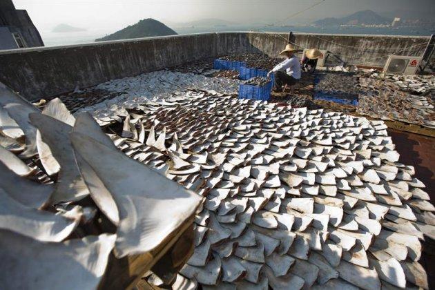 HLT02 HONG KONG (CHINA) 02/01/2013.- Vista de unas 18.000 aletas de tiburón dispuestas sobre el tejado de un edificio industrial en el distrito Kennedy de Hong Kong, China, hoy miércoles 2 de enero de